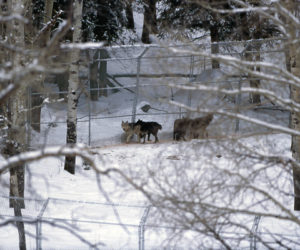 Unique Stories of the Yellowstone Wolf Reintroduction @ Patagonia Outlet